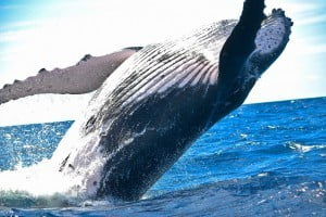 animal, whale, nature