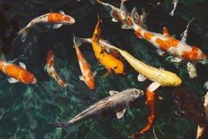 koi fish, animals, fish