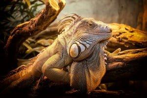 lizard, close up, nature