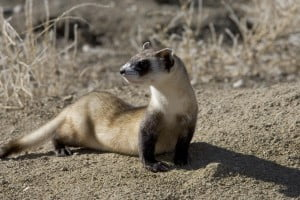 picture, ferret, footed