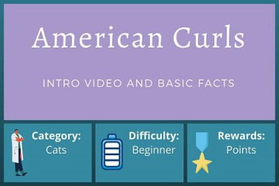 American Curl Cats – Beginner Course