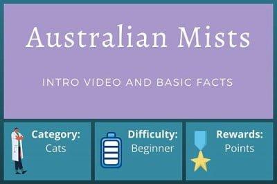 Australian Mist Cat – Beginner Course