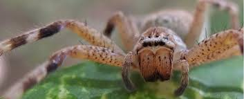 You can only love those flipping Huntsman Spiders!