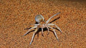 Golden Wheel Spider