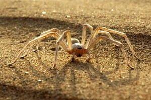 Cartwheel Spider