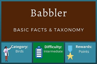 Babbler Facts and Taxonomy