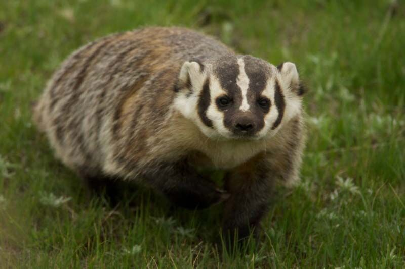 1 Minute in the Wild – The American Badger