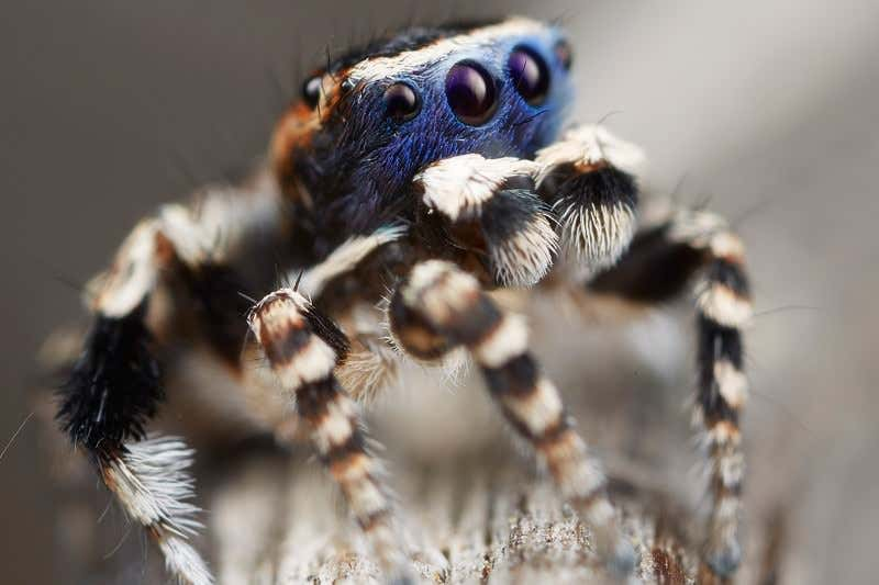 1 Minute in the Wild – The Peacock Spider